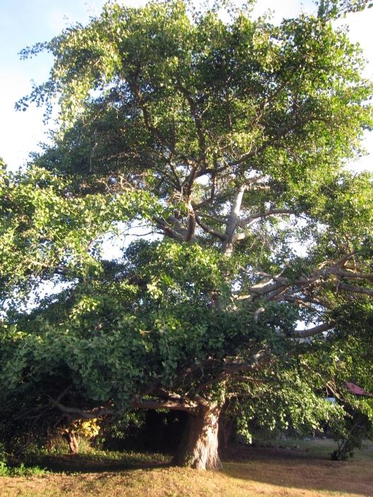 waiky tree