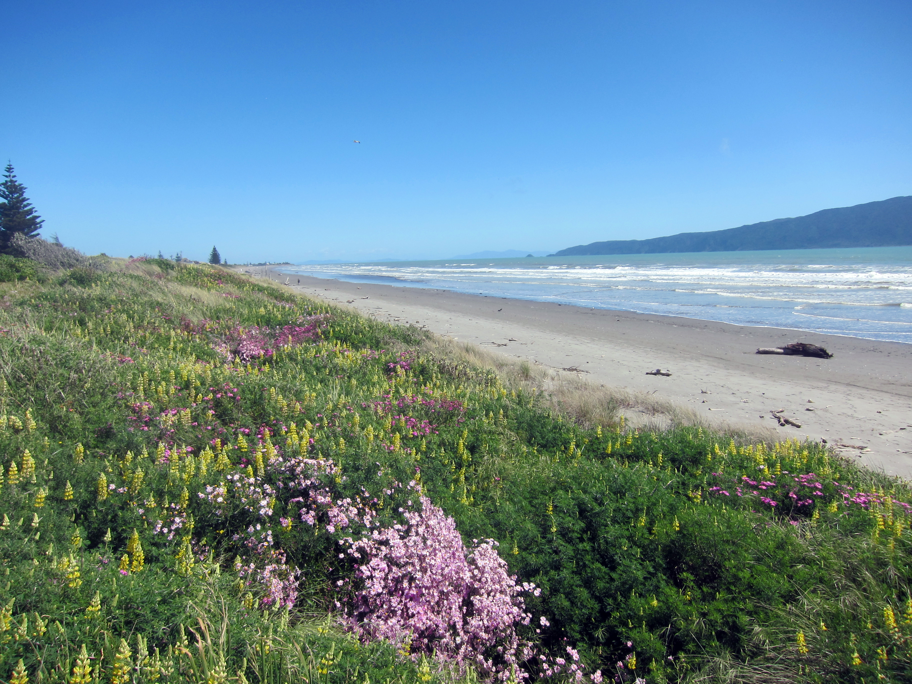 Pink And Yellow Spring Flowers On The Waikanae Beach Sand Dunes