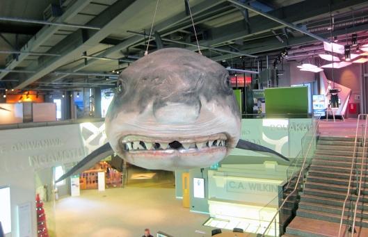 mitchell-shark