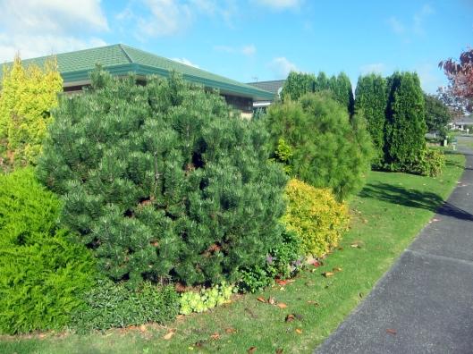 Awanui Conifers
