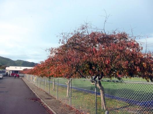 Kapanui autumn