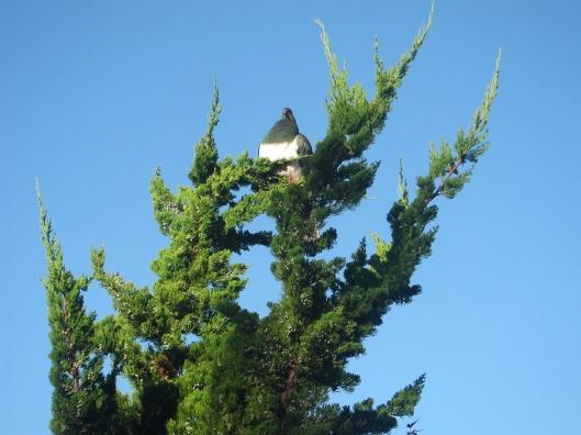kereru conifer