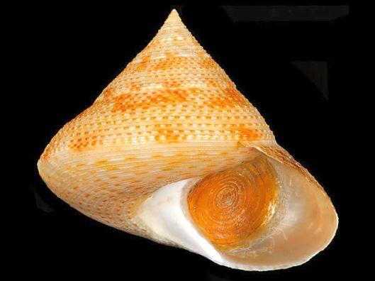 Calliostoma-waikanae