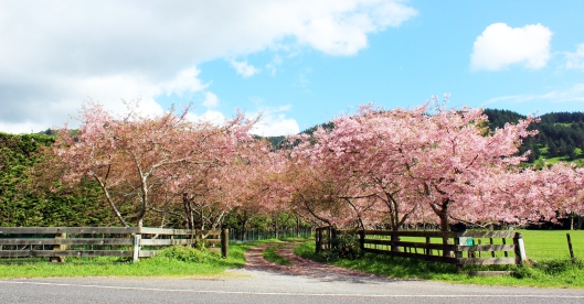 Cherry Blossom drive 2
