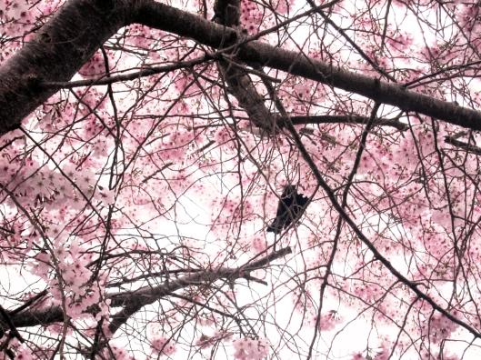 kapanui blossom 2