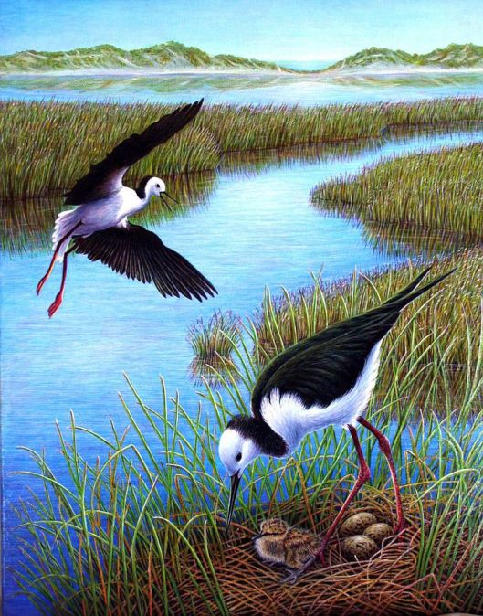 Pied Stilts