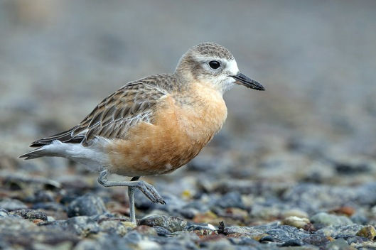 New Zealand dotterel.