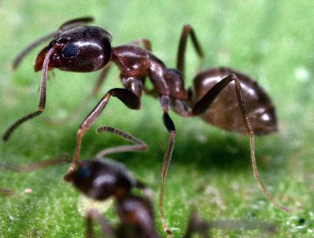 argentine ant-pair-on-m-arch