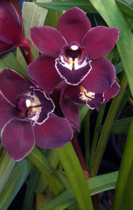 Tania Porter 1Waikanae Flame1 cymbidium orchid