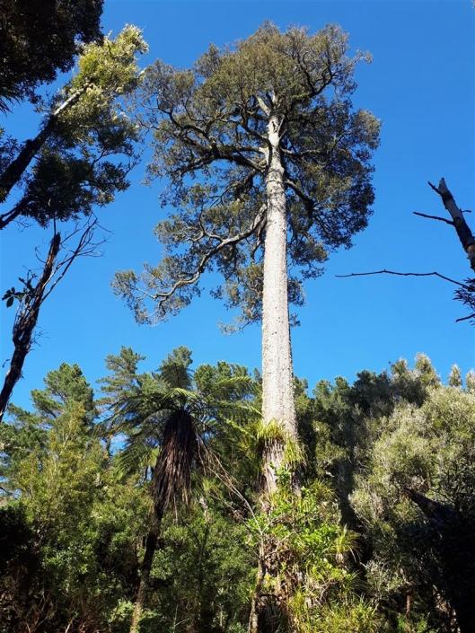 Reikongi tall tree