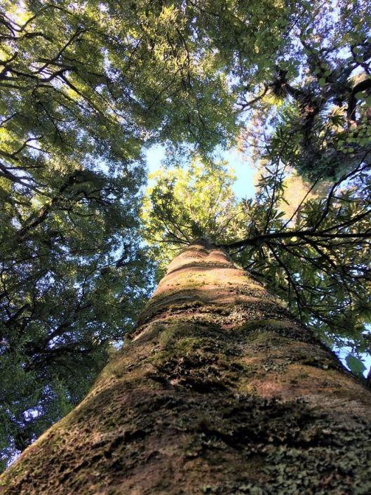 Reikorangi kauri tree