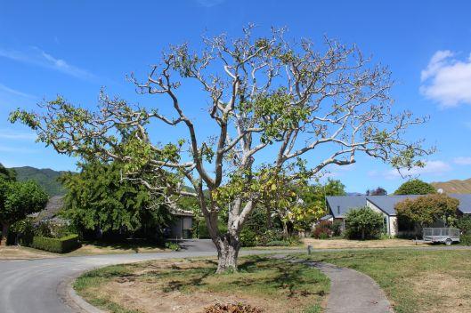 Walnut Grove heritage tree