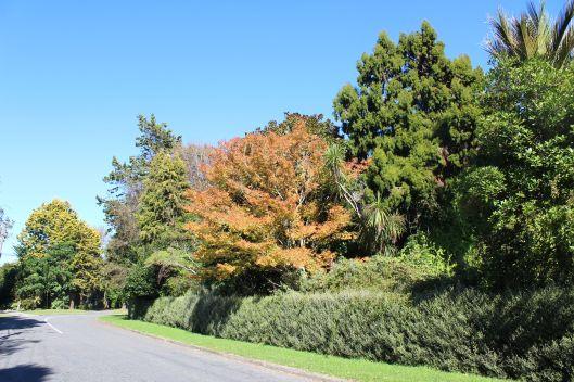 Kauri Road trees