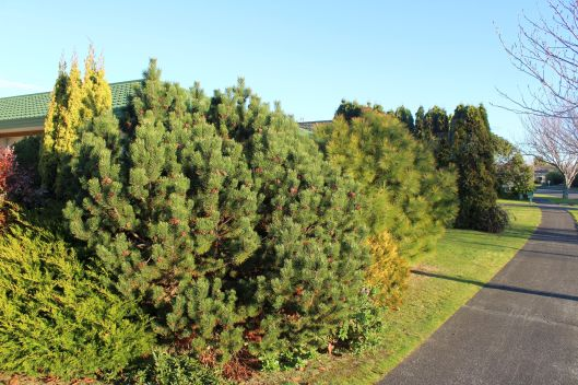 Awanui conifers 2