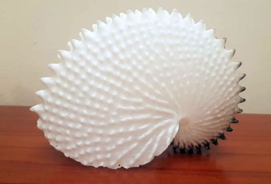 knobbed argonaut shell