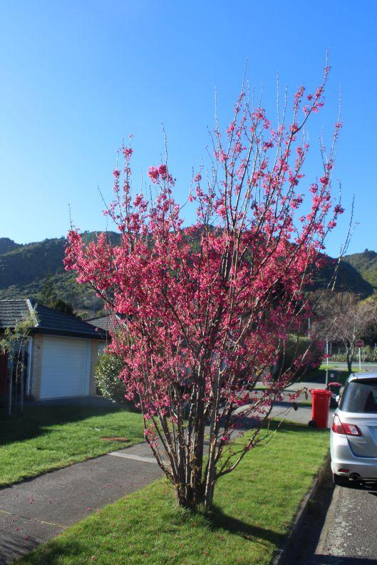 pink blossoms Hemi Street