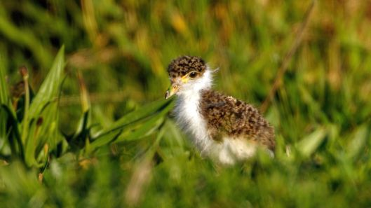 a newly hatched spur-winged plover chick explores its wetland habitat