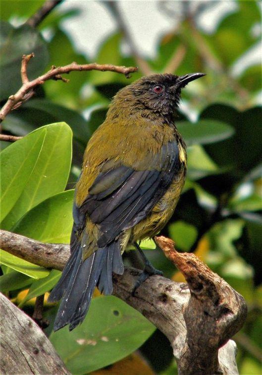 KW bellbird