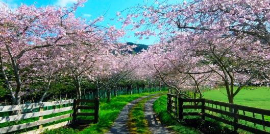 Reikorangi Cherry Blossom