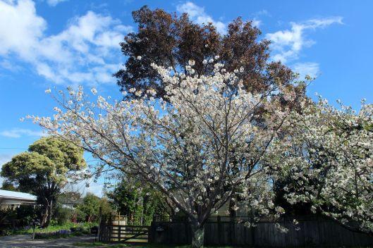 Te Moana Rd blossom