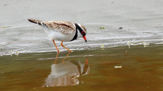 Black-fronted dotterel, Peka Peka beach RBS pic
