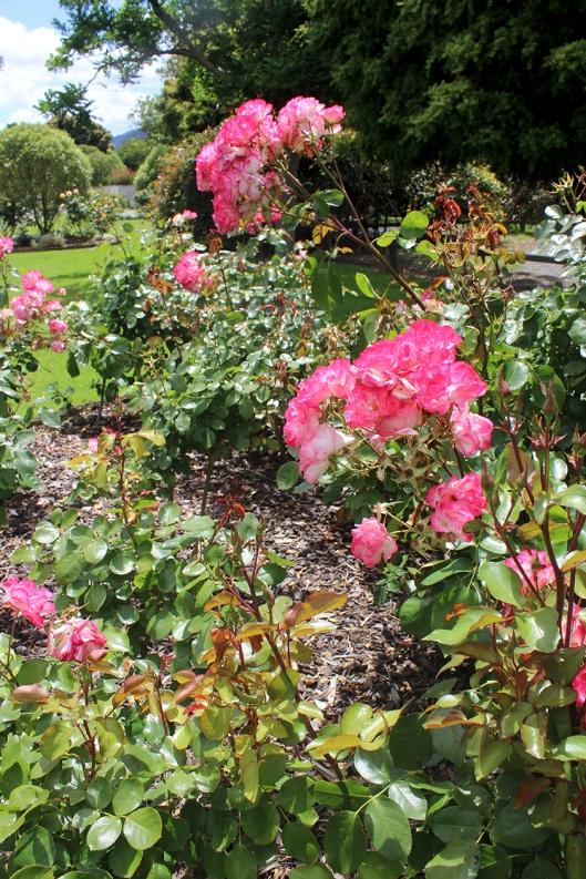 pink roses War Memorial Park