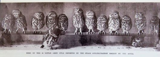 Littel Grey Owls