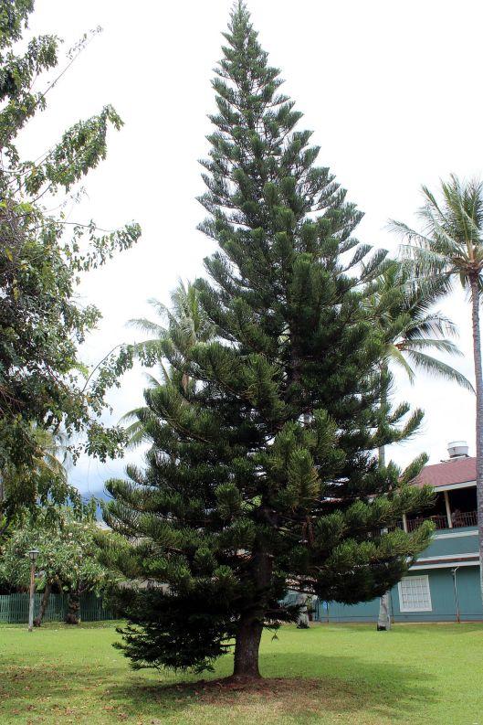 Norfolk pine Hawaii