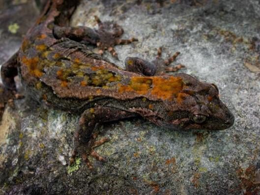 Orange-spotted aka Roy's Peak gecko