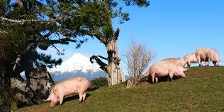 Pork NZ